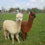Przedszkolaki z wizytą w gospodarstwie hodowli alpak – Coniraya